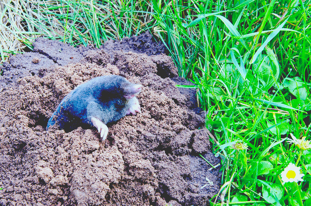 mole coming out of a mole hill on a lawn best solar mole repellers