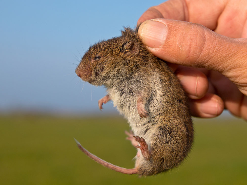 vole being held in a hand best solar mole repellers