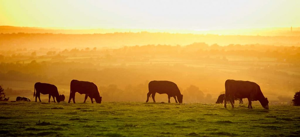 Cattle Silhouette Sunset